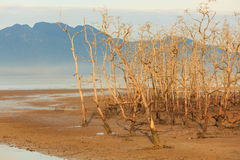 Dead trees in beach at low tide Royalty Free Stock Images