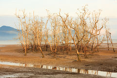Dead trees in beach at low tide Royalty Free Stock Image