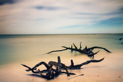 Dead trees on a beach Royalty Free Stock Photography