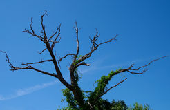 Dead trees. Dead trees and blue sky stock image