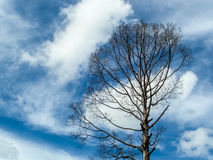 Dead Trees in blue sky and white cloud Royalty Free Stock Images
