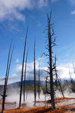 Yellowstone National Park, Wyoming, United States. Dead trees caused by sulfuric soil condition in a geothermal area, Yellowstone National Park, Wyoming, United Stock Image