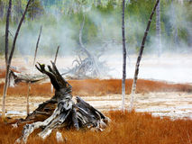Yellowstone National Park, Wyoming, United States, dead trees caused by sulphuric soil condition in a geothermal area Royalty Free Stock Image
