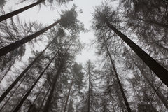 Dead trees of coniferous stand in mist Stock Image