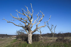 Dead Trees at Covehithe, Suffolk, England Royalty Free Stock Photo