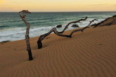 Dead trees (De Hoop Nature Reserve). Dead trees in the dunes at the coast of De Hoop Nature Reserve (South Africa stock photos