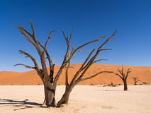 Dead trees in Dead Vlei, Namibia. Dead Camelthorn (Acacia erioloba) Trees in Dead Vlei, Namib-Naukluft National Park, Namibia Royalty Free Stock Image