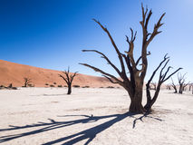 Dead trees in Dead Vlei, Namibia. Dead Camelthorn (Acacia erioloba) Trees in Dead Vlei, Namib-Naukluft National Park, Namibia Royalty Free Stock Images