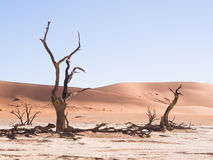 Dead trees in Dead Vlei, Namibia. Dead Camelthorn (Acacia erioloba) Trees in Dead Vlei, Namib-Naukluft National Park, Namibia Stock Photo