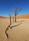 Dead Trees in Deadvlei Royalty Free Stock Image
