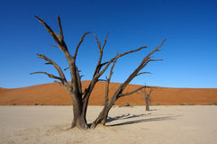 Dead trees of Deadvlei Stock Photos