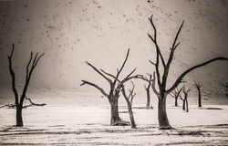 Dead Trees in Deadvlei. Dead Camelthorn trees stand, without decaying in Deadvlei in the Namib Desert Royalty Free Stock Photos