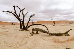 Dead trees in Deadvlei, Namibia. Dead trees under a rare cloudy sky in Deadvlei, Namibia Royalty Free Stock Photos