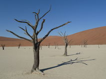 Dead trees at Deadvlei, Sossusvlei Namibia. Dead trees on a sunny day in Sossusvlei Namibia royalty free stock images
