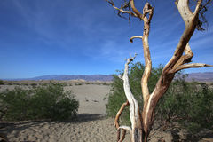 Dead trees in the death valley, california Royalty Free Stock Photos