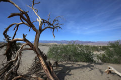 Dead trees in the death valley, california Royalty Free Stock Photo