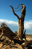 Dead trees in the desert Stock Photography