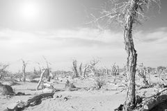 Dead trees in the desert with strong sunligh Royalty Free Stock Photos