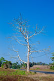 Dead trees Dried. with blue sky background Stock Photography