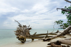 Dead trees and dry on beach Royalty Free Stock Photography