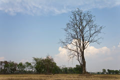 Dead trees and dry Royalty Free Stock Photography