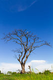 Dead trees dry. Naturally in the field, with the sky as a backdrop Stock Photo