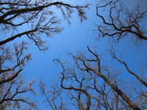 Dead trees in the environmental catastrophe Royalty Free Stock Photos