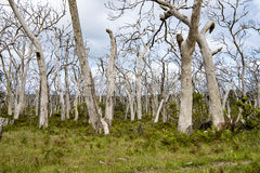 Dead Trees. Dead eucalyptus trees in South  Australia. Normally these eucalyptus trees are home for koalas and the leaves are food to koalas Royalty Free Stock Photography