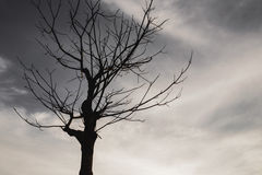 Dead trees in the evening sky with clouds. Dead trees in the evening sky with clouds in sunset time Stock Photography