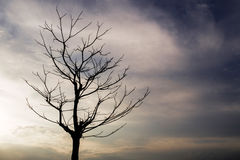 Dead trees in the evening sky. Dead trees in the evening sky on dark light time Royalty Free Stock Images
