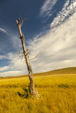 Dead trees and fields with white clouds blue sky Stock Photography