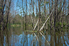 Dead trees in flooded wetland royalty free stock image