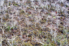 Dead Trees in Galapagos Royalty Free Stock Photography