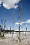 Dead trees in geyser basin in yellowstone park Stock Image
