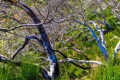Dead trees high in mountains Royalty Free Stock Photography