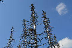 Dead trees. In High Tatras and beautiful blue sky Royalty Free Stock Image