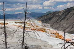 Dead Trees By Hot Springs Stock Image