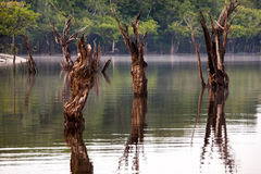 Dead trees on Igarape. On Amazon river Royalty Free Stock Images