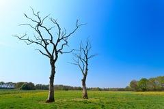 Dead Trees In A Dandelion Flower Field Stock Images