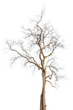 Dead trees isolated Royalty Free Stock Photography