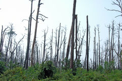 Dead Trees from Katrina. Dead trees after Katrina Hurricane. The forest is slowly coming back to life in 2007 Stock Photo