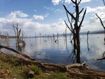 Dead trees in Kenya& x27;s Lake Nakura due to rising water levels. Dead trees lake nakura due rising water kenyas levels climate change national park habitat royalty free stock images