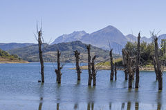 Dead trees in Lago di Campostosto Stock Images
