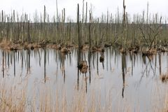 Dead trees in the lake. Dead trees in a swamp. Dead trees in a water. royalty free stock image
