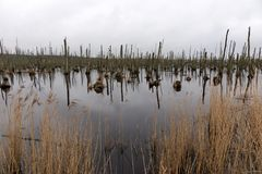 Dead trees in the lake. Dead trees in a swamp. Dead trees in a water. stock images