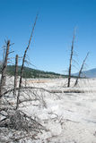 Dead trees on the Main Terrace of  Mammoth Hot Springs Stock Photo