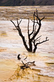 Dead Trees at Mammoth Hot Springs Stock Photography