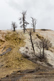 Dead Trees at Mammoth Hot Springs Royalty Free Stock Photography