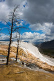 Dead trees at Mammoth Hot Springs, Yellowstone Royalty Free Stock Photo