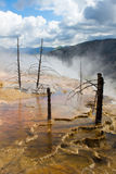 Dead trees at Mammoth Hot Springs, Yellowstone Royalty Free Stock Photos
